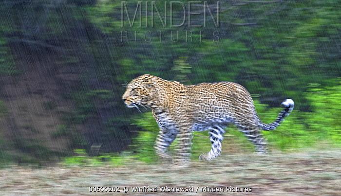 Leopard (Panthera pardus) male running in rainfall, Masai Mara, Kenya