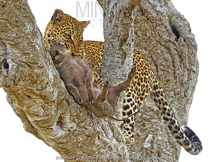 Leopard (Panthera pardus) with Warthog (Phacochoerus africanus) piglet prey, Masai Mara, Kenya