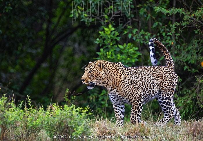 Leopard (Panthera pardus) male, Masai Mara, Kenya