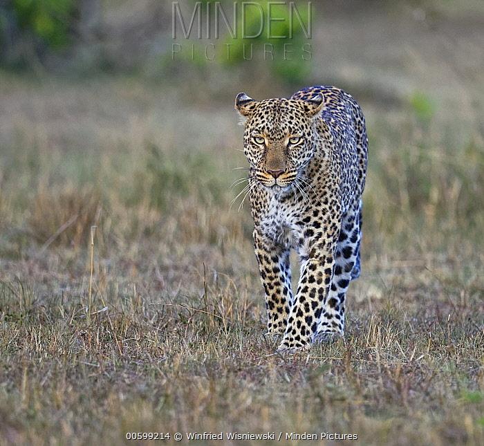 Leopard (Panthera pardus) female, Masai Mara, Kenya
