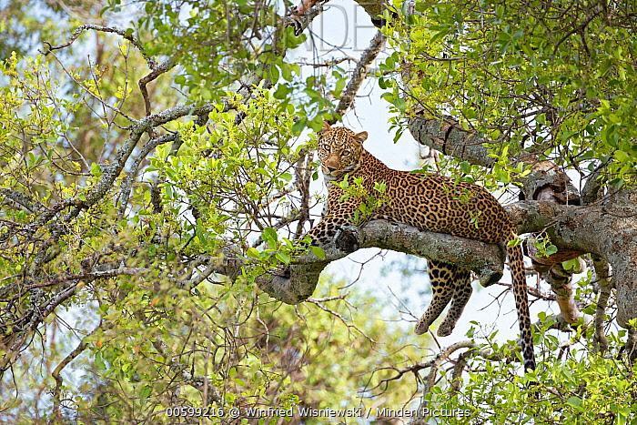 Leopard (Panthera pardus) female in tree, Masai Mara, Kenya