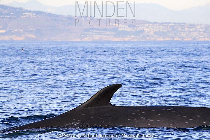 Fin Whale (Balaenoptera physalus) surfacing, Palos Verdes, California
