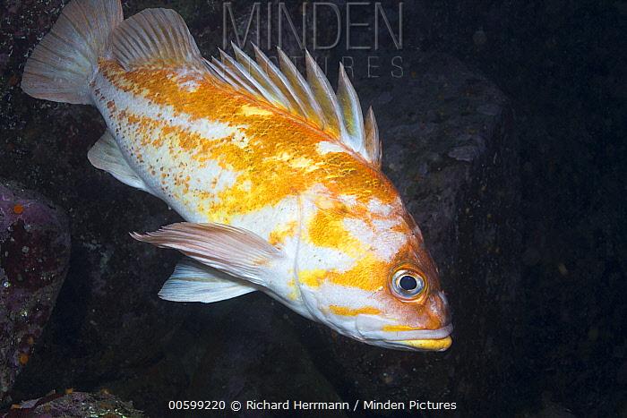 Copper Rockfish (Sebastes caurinus), Point Lobos State Reserve, California
