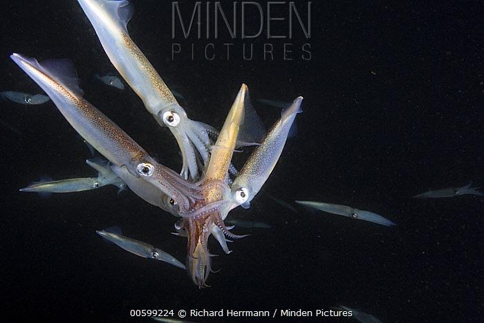 Squid (Loligo opalescens) multiple males attempting to mate with female, Catalina Island, California