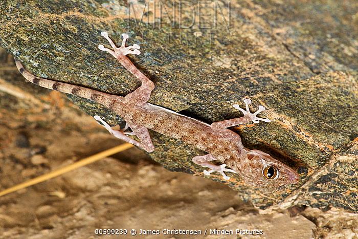 Orlov's Fan-footed Gecko (Ptyodactylus orlovi), Wadi Al Khoud, Oman