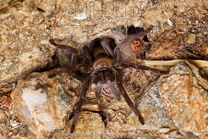 Tarantula (Ischnocolus jickelii) at burrow, Sifah, Oman