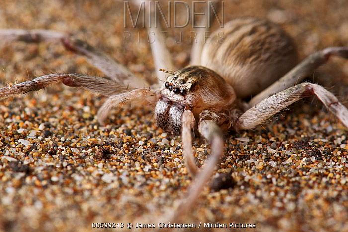 Huntsman Spider (Cercetius perezi) female, Barka, Oman