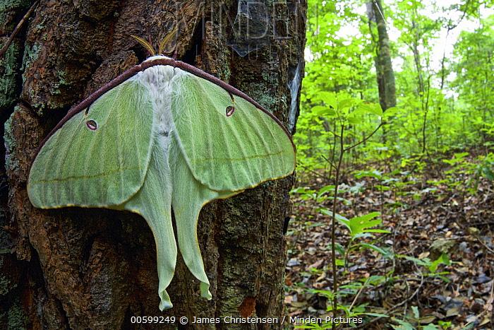 Luna Moth (Actias luna) newly emerged, First Landing State Park, Virginia Beach, Virginia