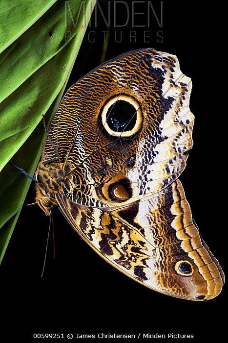 Atreus Owl (Caligo atreus) butterfly at night, Mindo, Ecuador