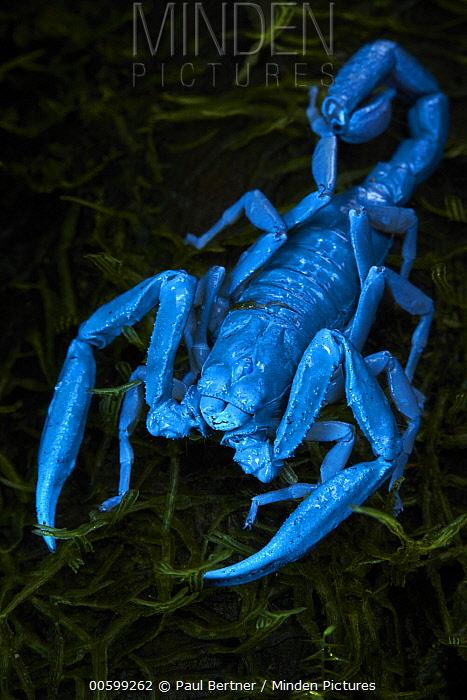 Scorpion, seen under UV light, Bigal River, Sumaco Napo-Galeras National Park, Ecuador