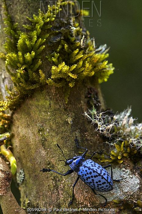 Fungus Beetle (Gibbifer sp), Ecuador