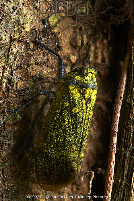 Fulgorid Planthopper (Fulgoridae), Mindo, Ecuador