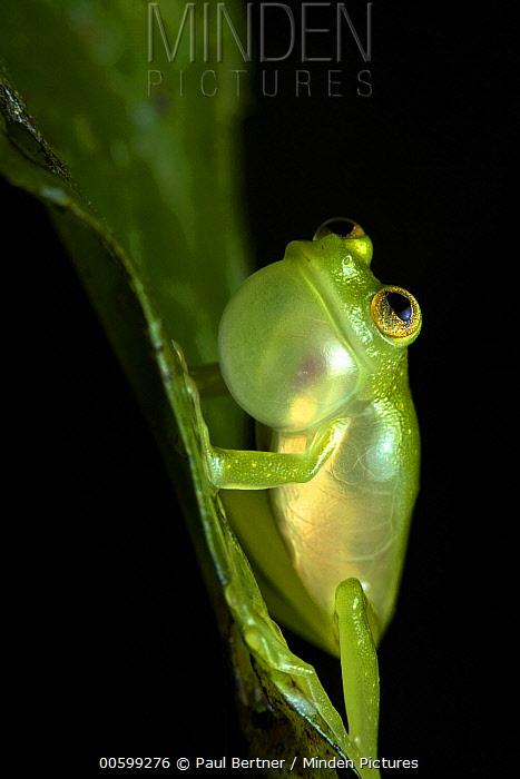 Glass Frog (Centrolenidae) calling, Ecuador
