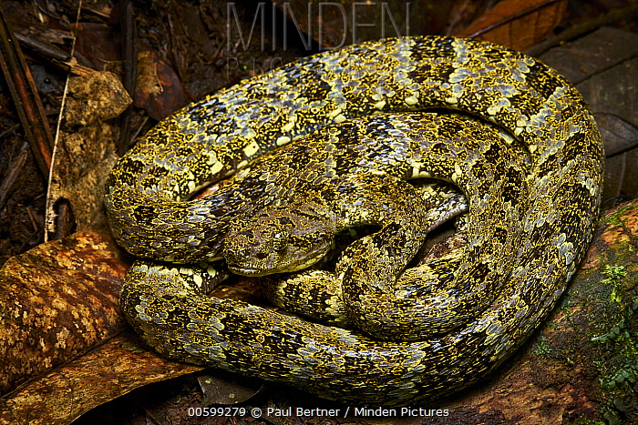 Speckled Forest Pit Viper (Bothriopsis taeniata), Bigal River, Sumaco Napo-Galeras National Park, Ecuador