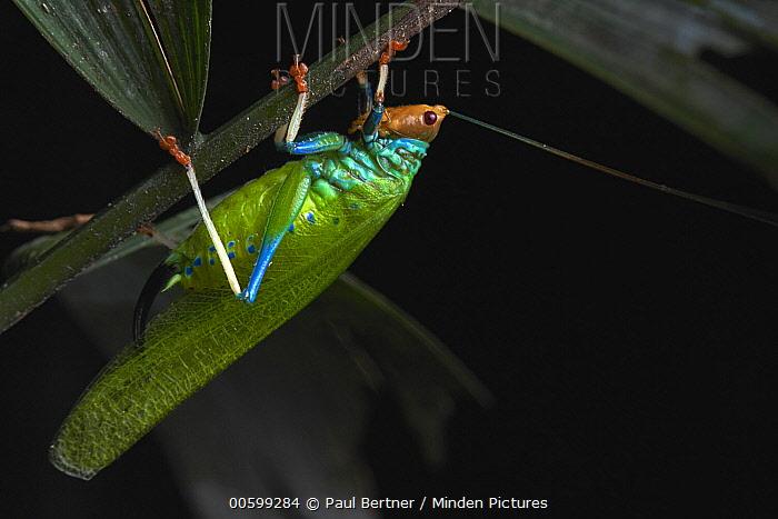Katydid (Vestria sp), Manu National Park, Peru