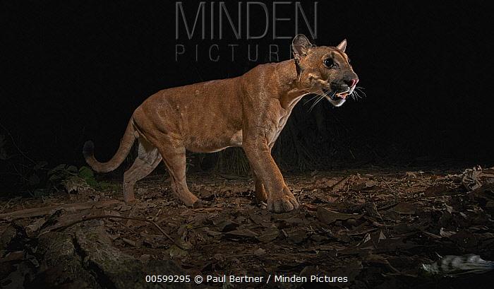 Mountain Lion (Puma concolor) at night, Tambopata-Candamo Nature Reserve, Peru