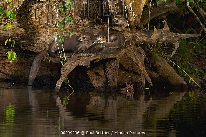 Giant River Otter (Pteronura brasiliensis) group resting on riverbank, Amazon, Peru