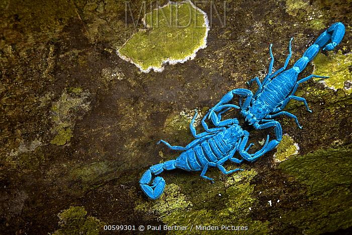 Scorpions courting, seen under UV light, Manu National Park, Peru