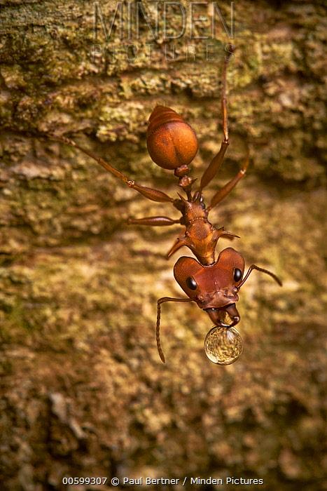 Large-headed Ant (Daceton armigerum) carrying food, Tambopata-Candamo Nature Reserve, Peru