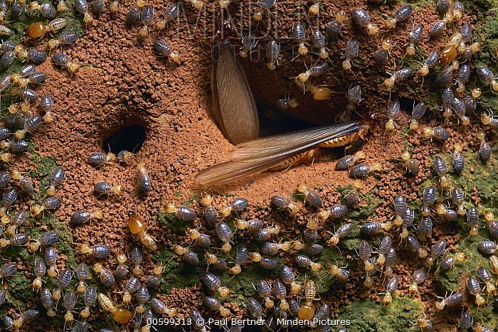 Alate termites emerging around workers from nest, Tambopata-Candamo Nature Reserve, Peru