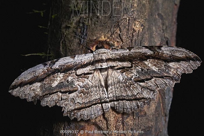 Moth, Tambopata-Candamo Nature Reserve, Peru
