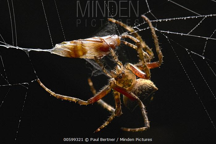 Spider wrapping prey, Tambopata-Candamo Nature Reserve, Peru