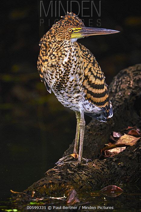 Rufescent Tiger-Heron (Tigrisoma lineatum) juvenile, Manu National Park, Peru