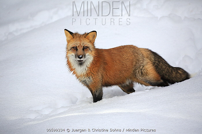 Red Fox (Vulpes vulpes) in winter, Montana