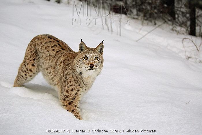 Eurasian Lynx (Lynx lynx) in winter, Montana