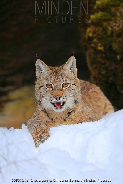 Eurasian Lynx (Lynx lynx) nine month old kitten in winter, Montana