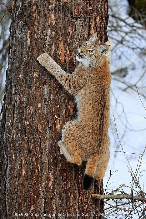 Eurasian Lynx (Lynx lynx) nine month old kitten climbing tree in winter, Montana