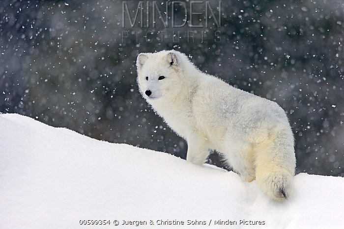 Arctic Fox (Alopex lagopus) in snow, Montana