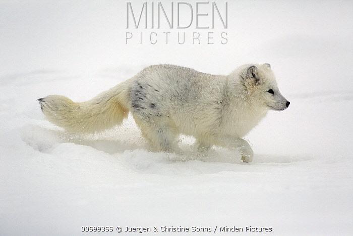 Arctic Fox (Alopex lagopus) running in snow, Montana