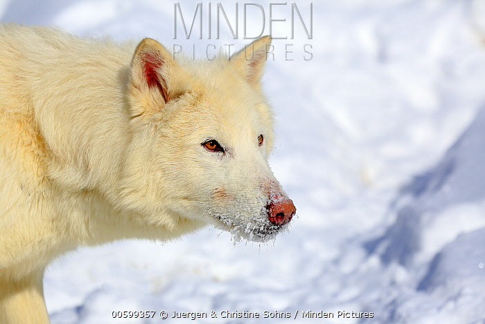 Arctic Wolf (Canis lupus) in winter, Montana