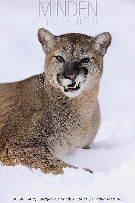 Mountain Lion (Puma concolor) snarling in winter, Montana