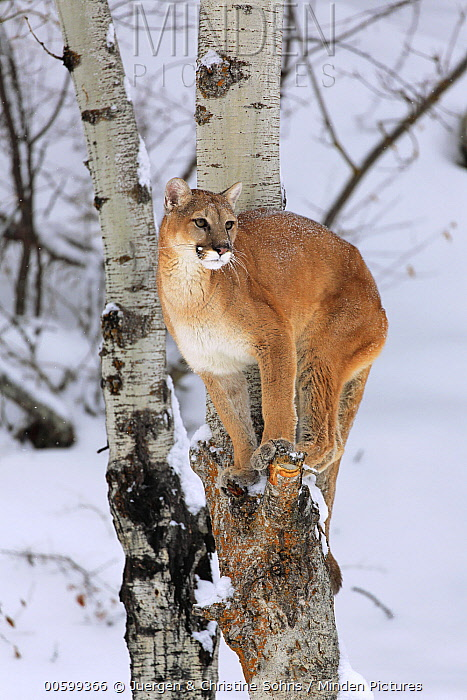 Mountain Lion (Puma concolor) in tree in winter, Montana