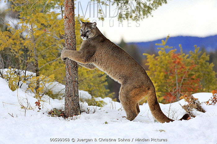 Mountain Lion (Puma concolor) scratching tree in winter, Montana