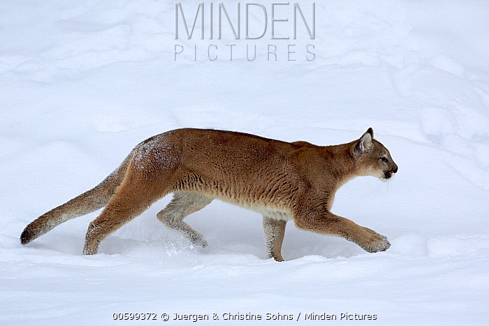Mountain Lion (Puma concolor) in winter, Montana
