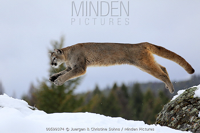 Mountain Lion (Puma concolor) jumping in winter, Montana