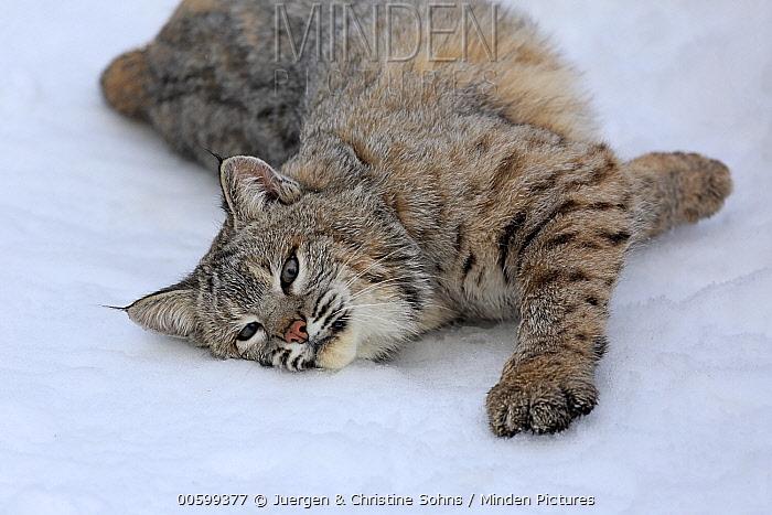 Bobcat (Lynx rufus) rubbing against snow in winter, Montana