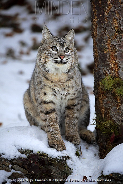 Bobcat (Lynx rufus) in winter, Montana