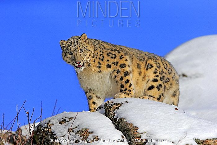 Snow Leopard (Panthera uncia), Montana