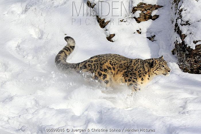 Snow Leopard (Panthera uncia) running in winter, Montana
