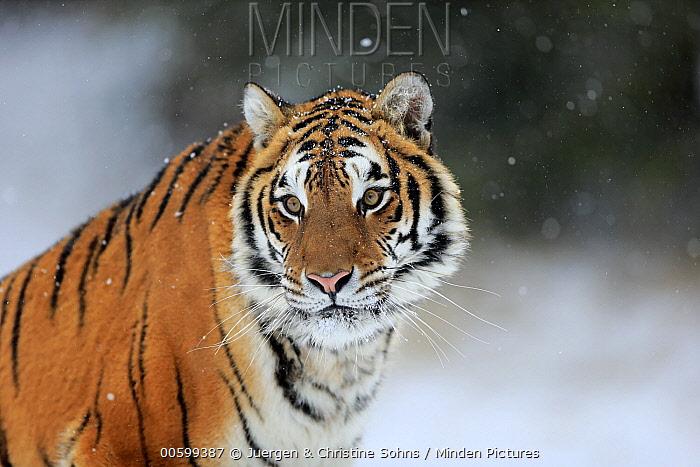 Siberian Tiger (Panthera tigris altaica) in winter, Montana