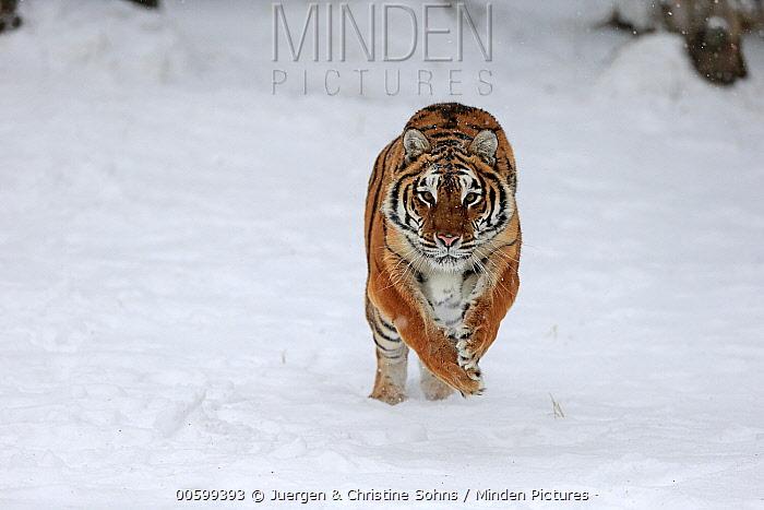 Siberian Tiger (Panthera tigris altaica) running in winter, Montana
