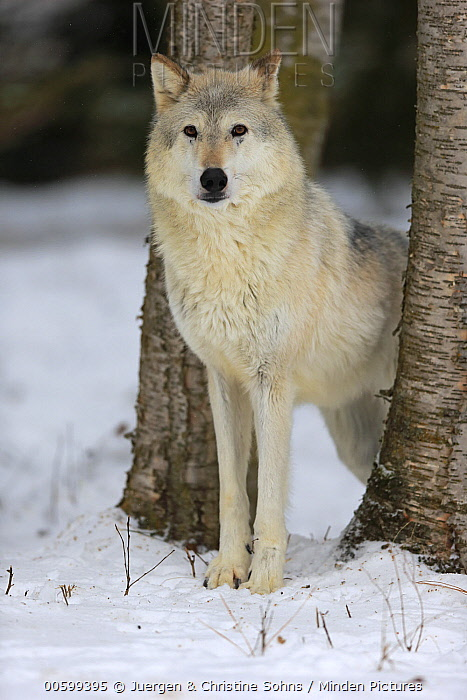 Wolf (Canis lupus) in winter, Montana