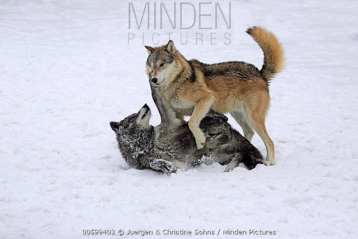 Wolf (Canis lupus) pair fighting in winter, Montana