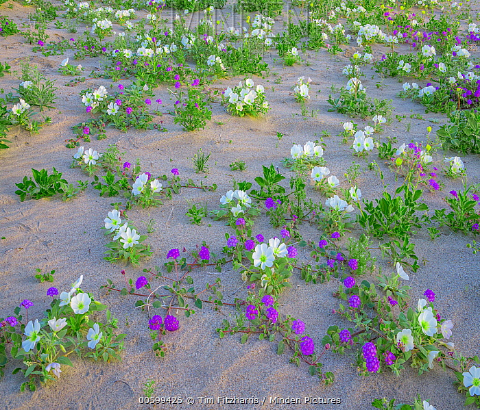 Sand Verbena (Abronia sp) and Desert Lily (Hesperocallis undulata) flowering, Anza-Borrego Desert State Park, California