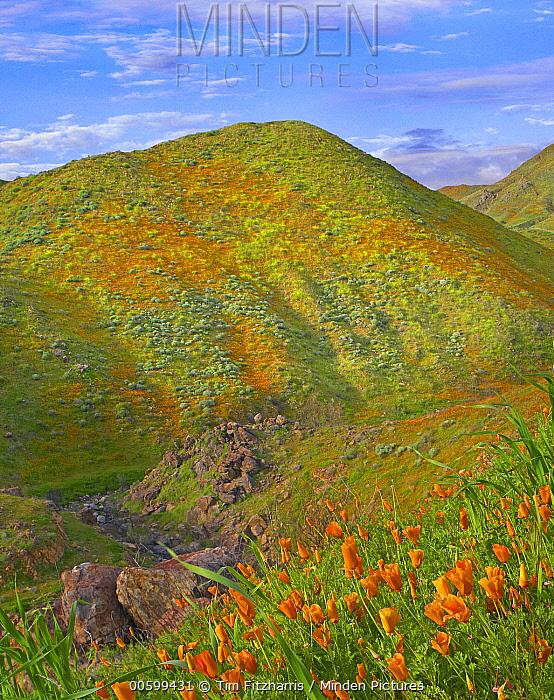 California Poppy (Eschscholzia californica) covered hillside in spring, Temescal Canyon, California