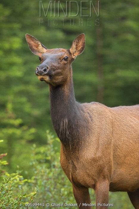 American Elk (Cervus elaphus nelsoni) female, Banff National Park, Alberta, Canada